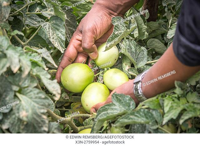 Meki Batu, Ethiopia - Unripe tomatoes still on the vine at the Fruit and Vegetable Growers Cooperative in Meki Batu