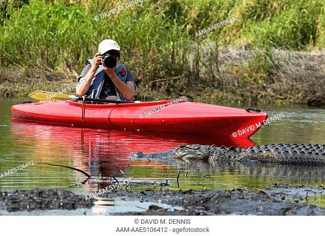 Photographing American Alligator, Alligator mississipiensis, at Myakka State Park, Sarasota County, FL.Florida