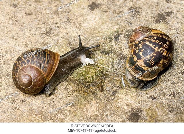 Garden Snails - copulation - parting showing remains of love dart (gypsobelum) (Helix aspersa / Cornu aspersum)