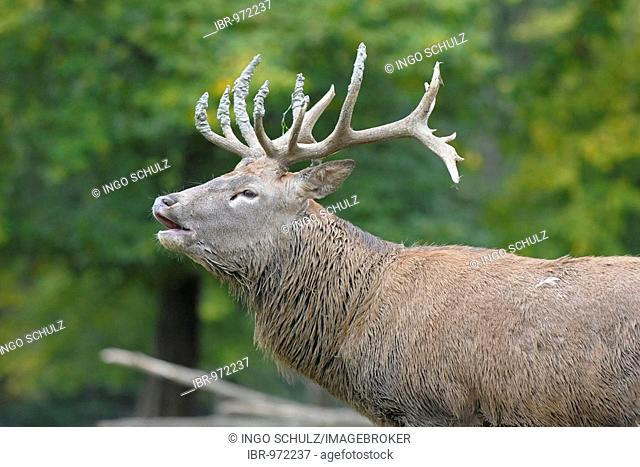 Red deer stag (Cervus elaphus) belling