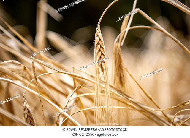 Close-up on heads of wheat being grown in field at Tighmert Oasis, Morocco