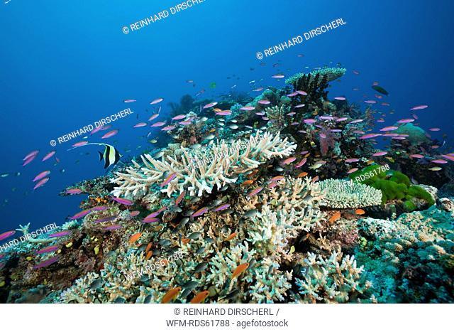 Slender Basslets in Coral Reef, Luzonichthys whitleyi, Namena Marine Reserve, Fiji