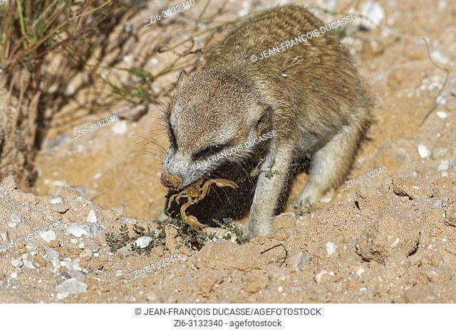 Meerkat (Suricata suricatta), adult animal at the burrow, feeding on a scorpion, Kgalagadi Transfrontier Park, Northern Cape, South Africa, Africa