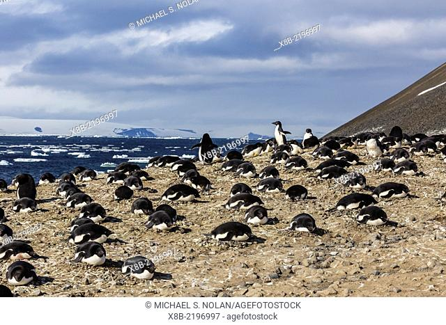 Adult Adélie penguins, Pygoscelis adeliae, breeding and nesting colony at Devil Island, Weddell Sea, Antarctica