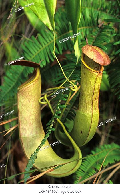 The Carnivorous pitcher plant is found in swamps and along rivers on the Cape York Peninsula, Queensland, Australia