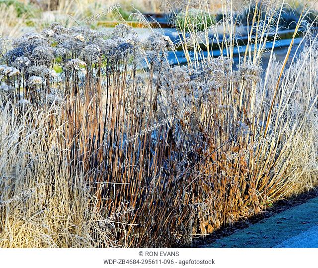 Frost covered borders of died back foliage of hardy perennials and ornamental grasses in winter