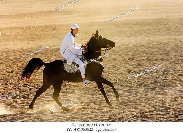 Arabian Horse. Rider on black stallion galloping in the desert. Egypt
