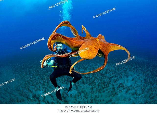 This diver gets a good look at a day octopus (Octopus cyanea); Hawaii, United States of America