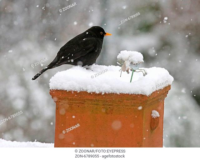 Black Bird Turdus merula