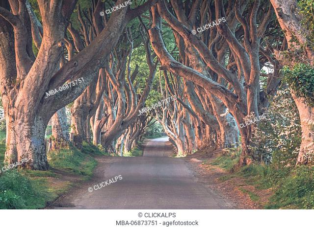 The Dark Hedges near Stanocum, County Antrim, Northern Ireland, United Kingdom