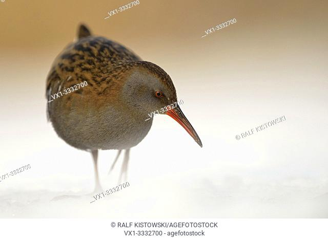 Water Rail / Wasserralle (Rallus aquaticus ) in winter, permanent resident, searching for food, threatened, endangered, wildlife, Europe