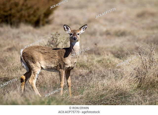 White-tailed Deer (Odocoileus virginianus), Barrie Island, Manitoulin Island, Ontario, Canada