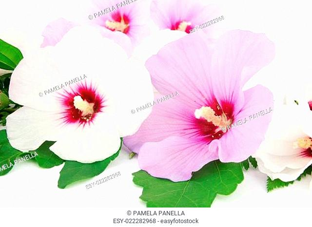 Hibiscus white and violet, blossom