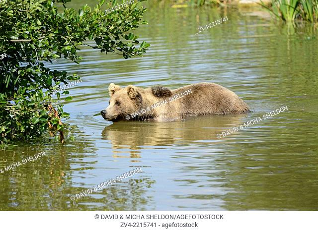 Close-up of a brown bear (Ursus arctos) in a little lake in spring