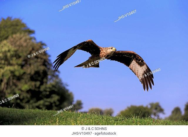 Red Kite, (Milvus milvus), adult flying, Pelm, Kasselburg, Eifel, Germany, Europe