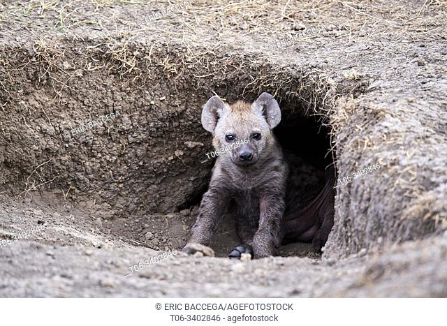 Spotted hyaena cub at den entrance (Crocuta crocuta). Masai Mara National Reserve, Kenya
