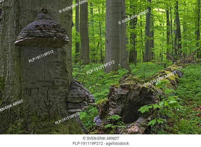 Dead beech tree trunk infected with false tinder fungus / hoof fungus / tinder conk, Hainich National Park, Thuringia / Thüringen, Germany