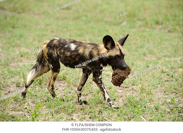 African Wild Dog Lycaon pictus pup, carrying elephant dung in mouth, Kwando Lagoon, Linyanti, Botswana