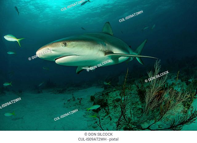 Underwater portrait of reef shark swimming above seabed, Tiger Beach, Bahamas