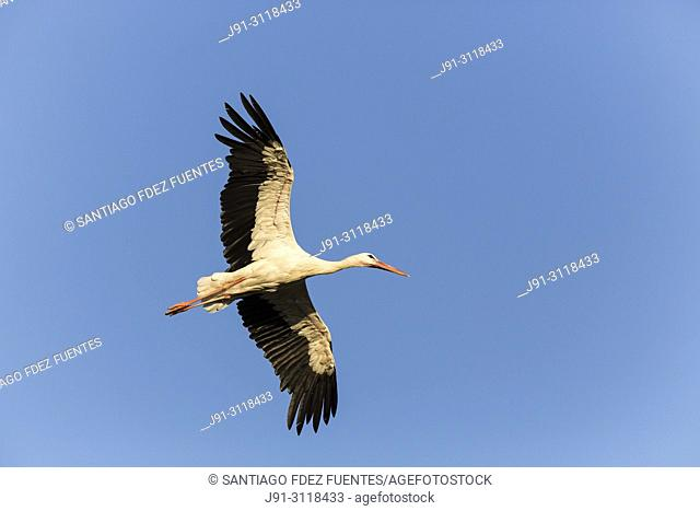 White stork (Ciconia ciconia) flying. Madrid province, Spain