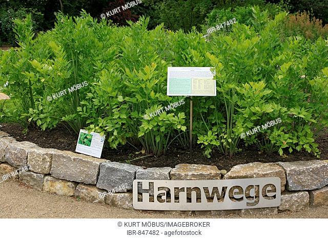 Medicinal herbs for the urinary tract, botanic garden for medicinal herbs of the Johann Wolfgang Goethe University, Neuer Senckenbergischer Arzneipflanzengarten