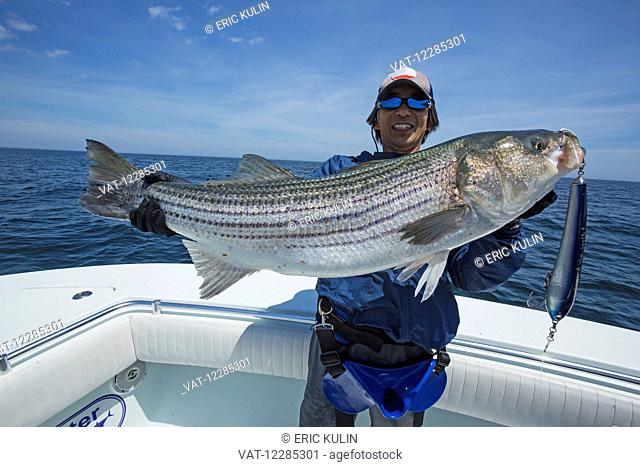 Fisherman holding a fresh caught Striped Bass (Morone saxatilis); Cape Cod, Massachusetts, United States of America