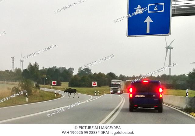 24 September 2019, Saxony: A cow moose runs along the access road to the A4 motorway. Again and again moose migrate from Poland to Lusatia, but also again