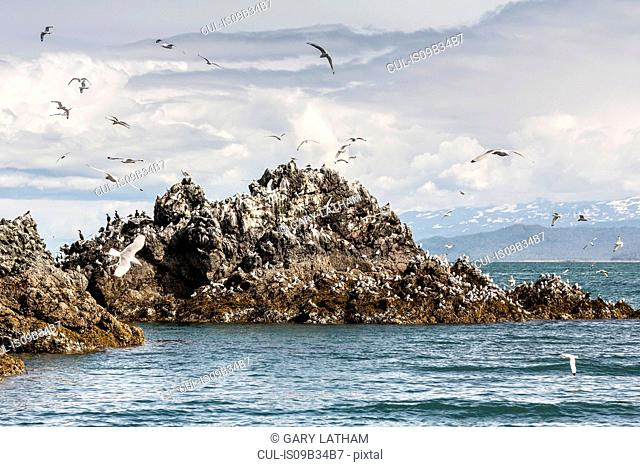 Seagulls flying around Gull Island, Kachemak Bay, Alaska, USA