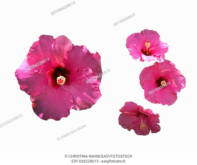 Pink hibiscus flower closeup in shade and sunlight