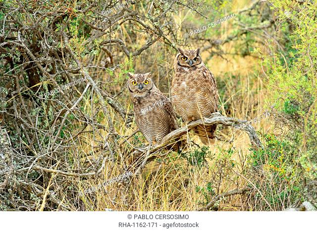 Great horned owl (Bubus Virginianus nacurutu), Patagonia, Argentina, South America