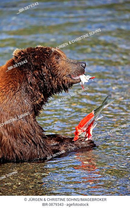 Grizzly Bear (Ursus arctos horribilis) adult, feeding in the water, Brooks River, Katmai National Park and Preserve, Alaska, United States
