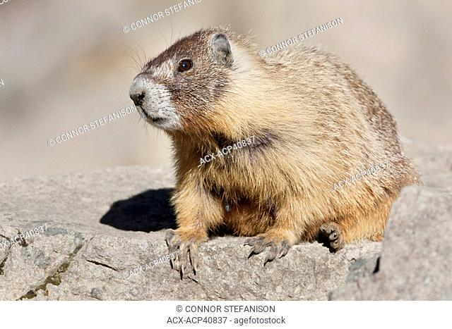 Yellow-Bellied Marmot Marmota flaviventris perching on a rock in Manning Provincial Park, in British Columbia, Canada