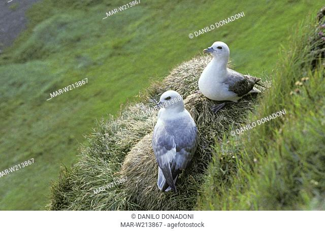 fulmars, vik, iceland