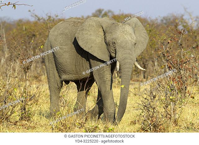 African Elephant (Loxodonta africana), in the Savuti marsh. Chobe National Park, Botswana