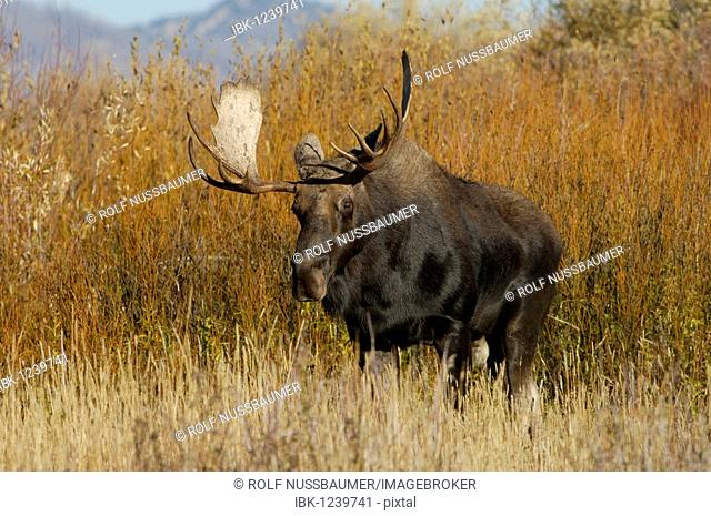 Moose (Alces alces), bull in fall, Grand Teton National Park, Wyoming, USA