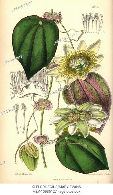 Passiflora hahnii, yellow passionflower native to Mexico. . Hand-coloured botanical illustration drawn by Matilda Smith and lithographed by J.N