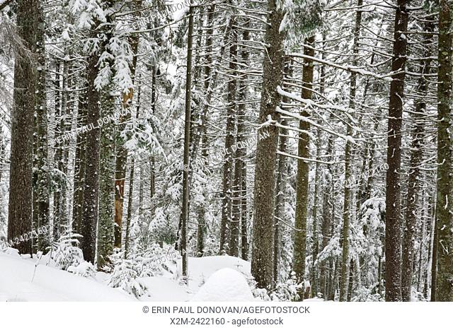 Softwood forest on the northern slopes of Mount Jim in Kinsman Notch of Woodstock, New Hampshire USA during the winter months