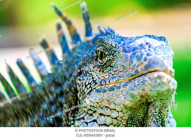 Close up of male green iguana (iguana Iguana) with spines and dewlap, Parque de las Iguanas, Guayaquil, Ecuador