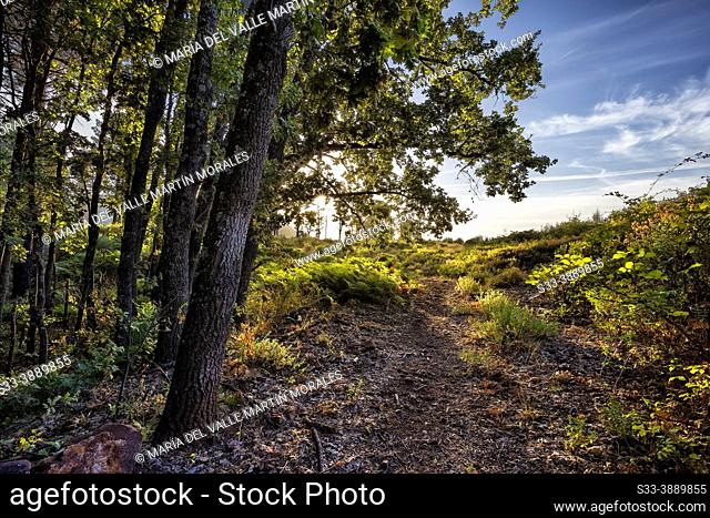 Path to the pineforest and ferns in Sierra de Gredos. Avila. Spain. Europe