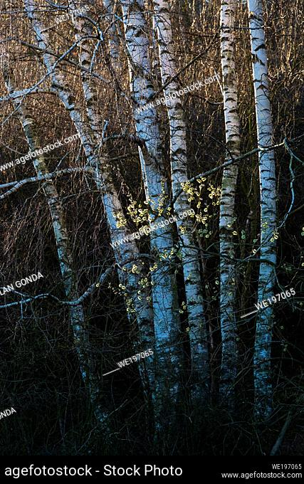 Blooming willow and silver birch trees in Turiec region, Slovakia