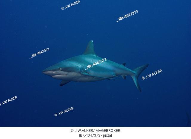 Grey Reef Shark (Carcharhinus amblyrhynchos), Pacific Ocean, Palau