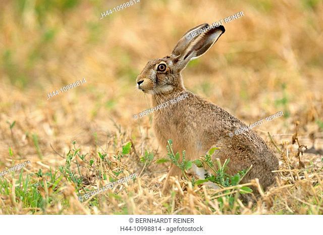 Hare, Rabbit, field hare