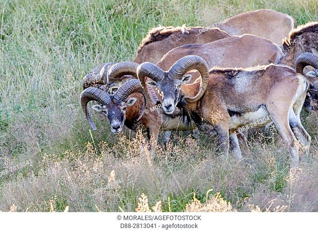 France, Haute Saone, Private park, Mouflon Rams (Ovis ammon musimon), male, adult