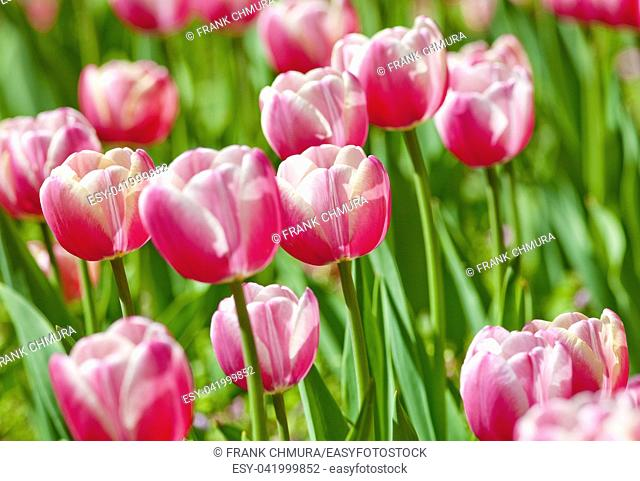 Flower Bed of Red Tulips at Blossom in Spring
