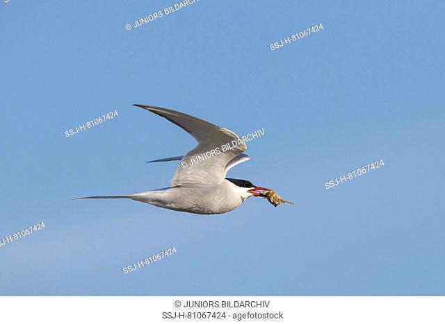 Arctic Tern (Sterna paradisaea). Adult in flight with crab prey in its beak. Germany