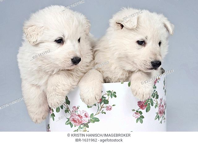 2 White Swiss Shepherd Puppies Stock Photos And Images Age Fotostock