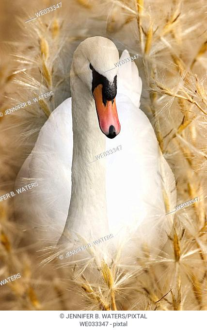 A swan superimposed over seeds