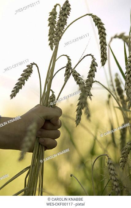 Child's hand holding wheat