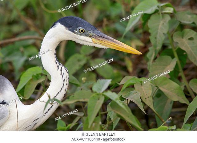 Cocoi Heron (Ardea cocoi) feeding in a wetland area in the Pantanal region of Brazil