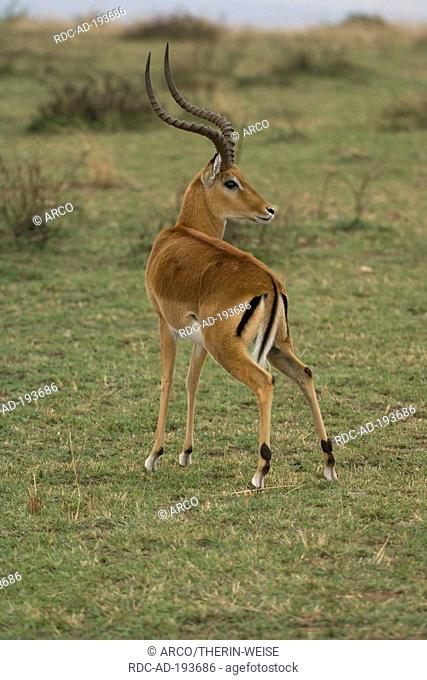Impala, male, urinating, Masai Mara game reserve, Kenya, Aepyceros melampus